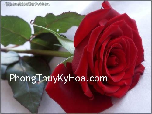1632864426 rose hoahong08 Công cụ kích hoạt phong thủy
